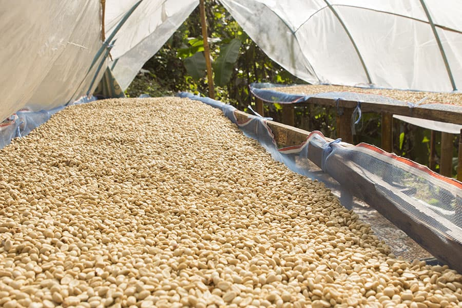 Coffee Processing and Harvesting