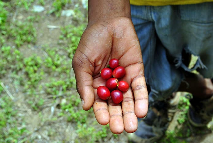 What is Jamaica Blue Mountain Coffee