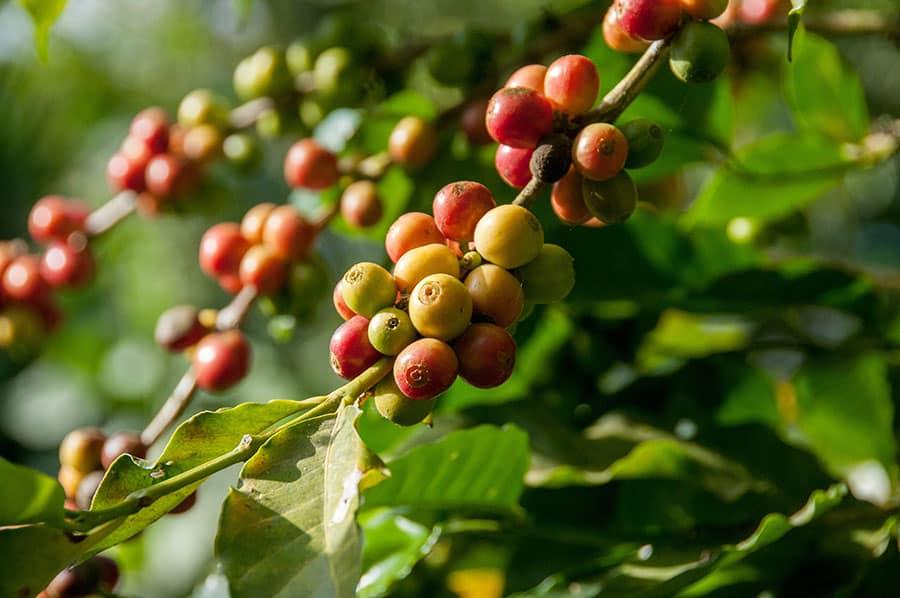 Kona Coffee Hawaii