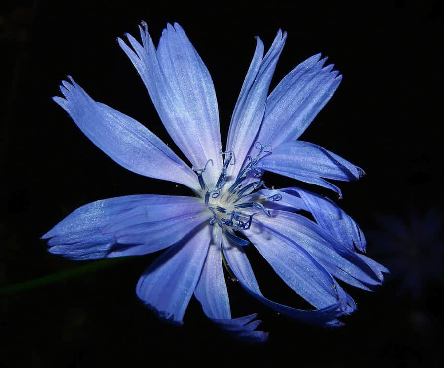 What is Chicory Coffee