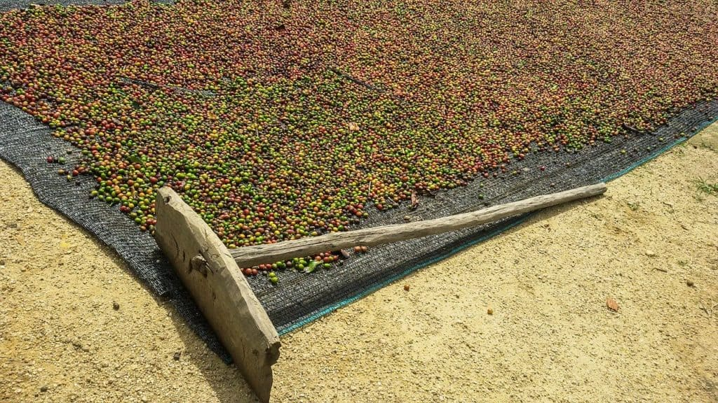 Peaberry Coffee Harvest
